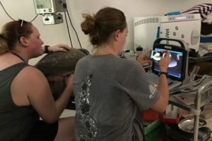 Visiting veterinarian Sonya and resident veterinarian Claire ultrasound scanning a turtle patient in Maldives and discovering follicles.