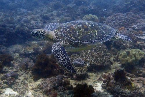Adopt a turtle in Kenya