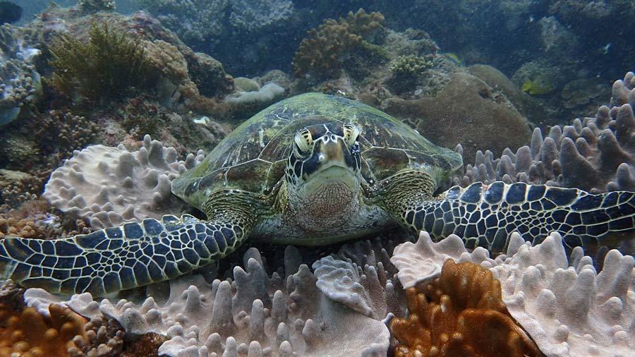 Green turtle on reef facing camera, Kenya. Image.