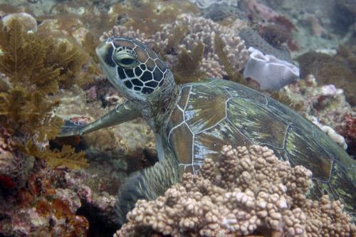 Green turtle, Mwanyasa, Kenya. Image.