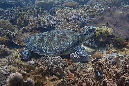 Green turtle, Milele, Kenya. Image