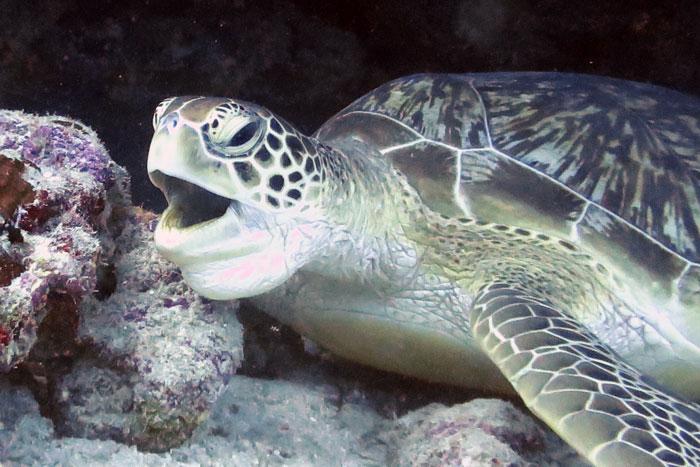 "Green turtle ""throat-pumping"". Image."