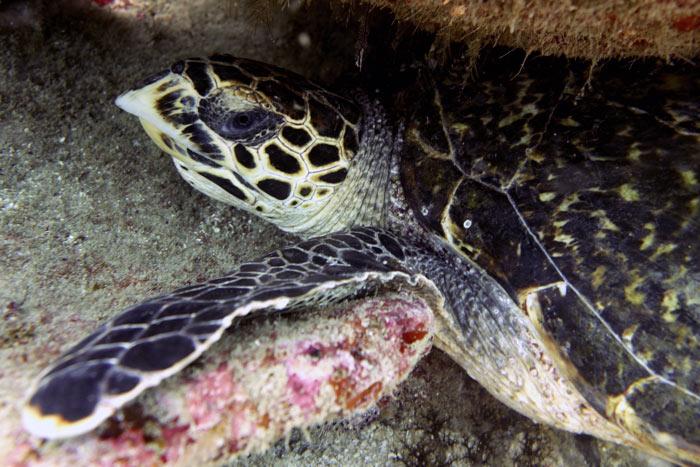 Adopt a turtle in Kenya.