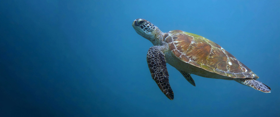 Green turtle swimming in the blue, Kenya. Image.