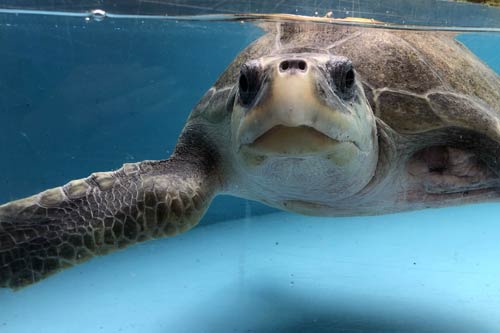 Long-term turtle patient Heidi at the ORP Rescue Centre, Maldives.