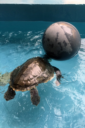 Turtle patient Artemis playing with a ball for enrichment whilst recovering at the ORP Marine Turtle Rescue Centre, Maldives