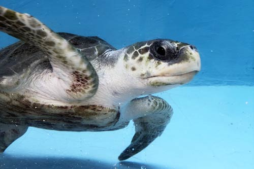 Turtle patient Elba fully recovered from ghost gear entanglement and ready to be released