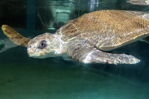 Turtle patient Lucky at the ORP Rescue Centre, Maldives.