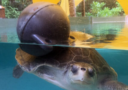 ORP Turtle Patient Update Issue 12|2019