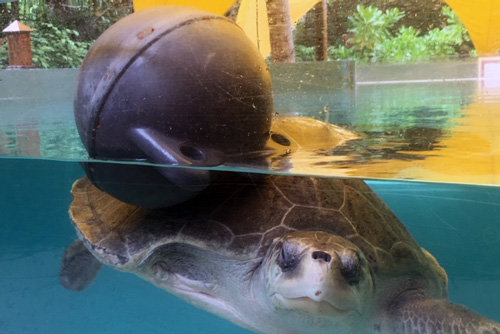 Turtle patient Thomas playing with a ball for enrichment, ORP Marine Turtle Rescue Centre, Maldives