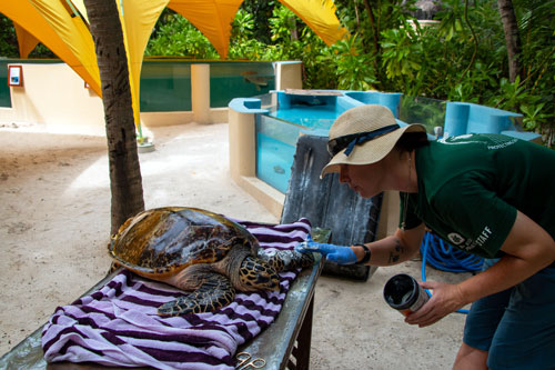 Turtle Vet Jackie treating turtle patient KG's wounds