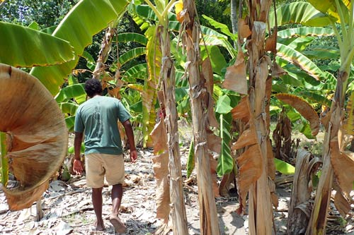 Banana plantation on Kelaa, Maldives. Photo by Ali Naxim