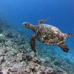 Hawksbill turtle swimming in Ha Kelaa Atoll, Maldives. Image.