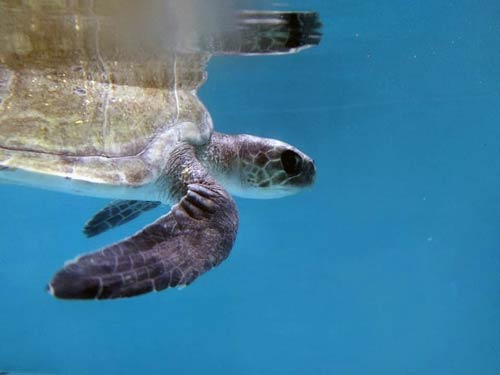 Turtle patient Orla swimming in her tank at the ORP turtle rescue centre, Maldives
