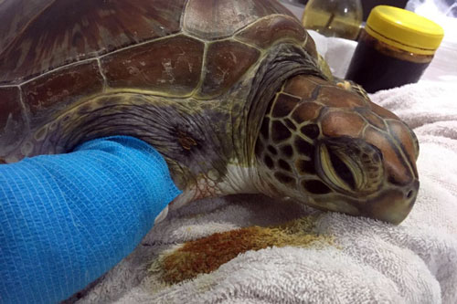 Turtle patient Amal at ORP Turtle Rescue Centre Maldives