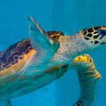 Critically endangered hawksbill turtle patient KG