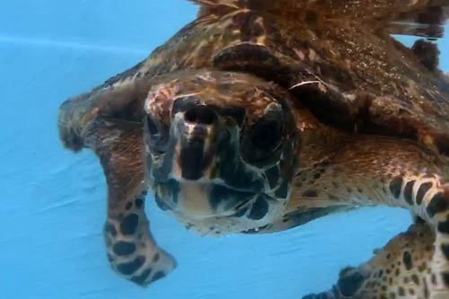 Hawksbill turtle patient Kaushell at the ORP Rescue Centre Maldives