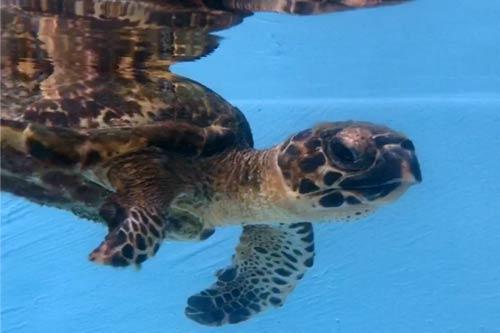 Turtle patient Kaushell ORP Turtle Rescue Centre Maldives