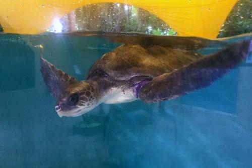 Turtle patient Talia, olive ridley turtle, ORP Turtle Rescue Centre
