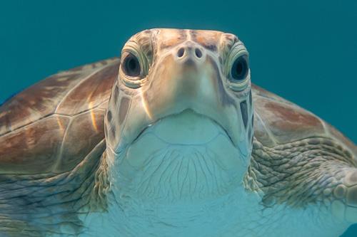 Green turtle, Maldives