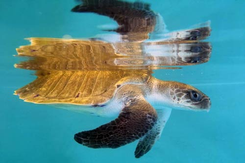Ghost gear victim Beasty at ORP Turtle Rescue Centre Maldives