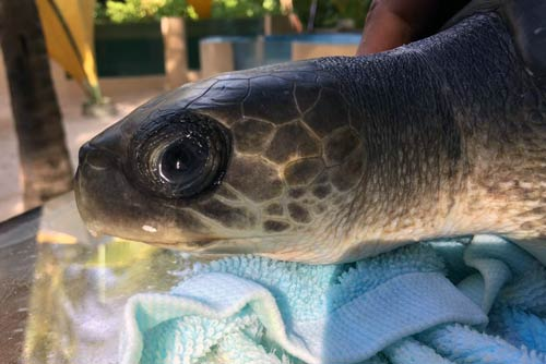 Olive ridley ghost gear victim June at ORP Turtle Rescue Centre, Maldives