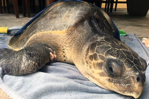 Olive ridley ghost gear victim Shimmi at ORP Turtle Rescue Centre, Maldives