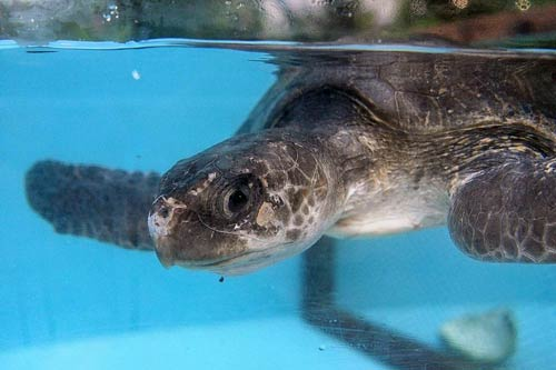 Turtle patient Bernie