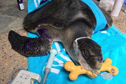 Turtle patient Delilah post surgery ORP Turtle Rescue Centre Maldives