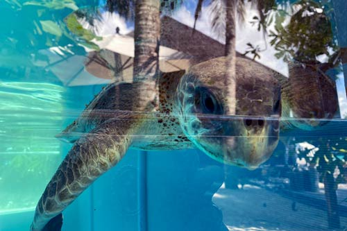 Olive Ridley turtle patient Ziko in the tank at ORP Turtle Rehabilitation Centre Maldives