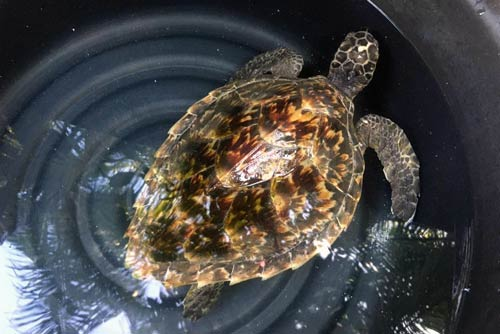 Hawksbill turtle patient Crush at ORP turtle rescue centre, Maldives