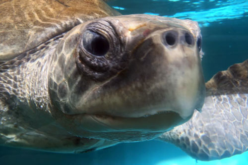 Ghost net victim olive ridley turtle Bishy recovering at ORP Turtle Rescue Centre, Maldives.