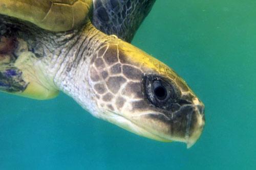 Turtle patient Fidji, olive ridley, ORP Turtle Rescue Centre, Maldives