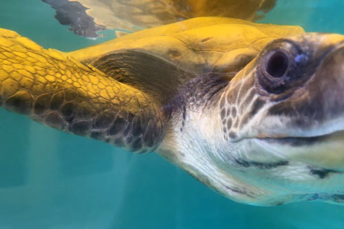 Turtle patient Teddy, olive ridley ghost gear victim, ORP Turtle Rescue Centre, Maldives.