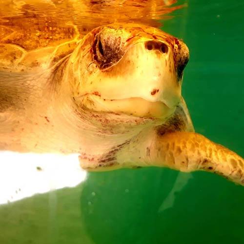 Turtle patient ©Shiva Sawmy