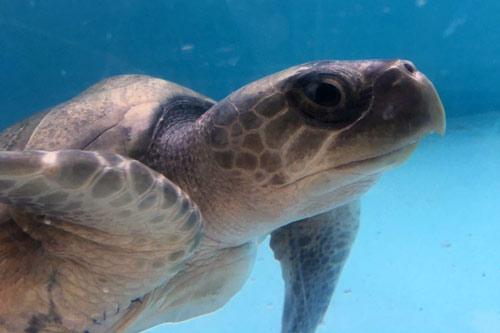 Juvenile olive ridley ghost net victim Bubbles at ORP Turtle Rescue Centre, Maldives