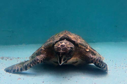 Turtle patient Crash, a tiny hawksbill, at ORP Turtle Rescue Centre, Maldives