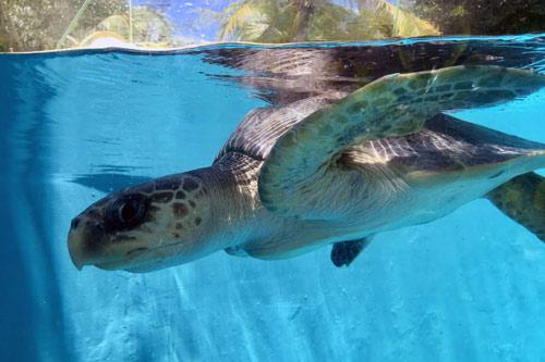 Turtle patient Fidji, a flipper amputee, image