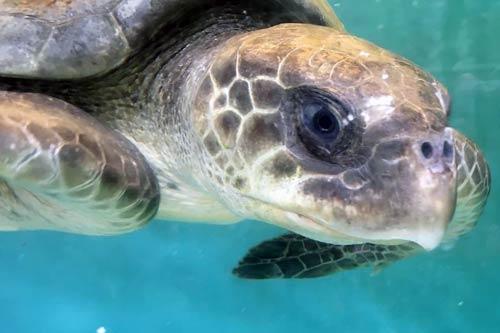 Ghost net victim Laetitia, ORP Turtle Rescue Centre, Maldives
