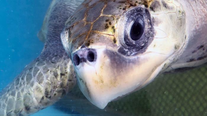 Close-up of turtle patient Disco. Image.