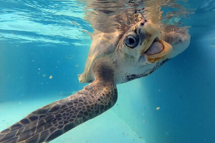 ORP Turtle Patient Update Issue 2   2021