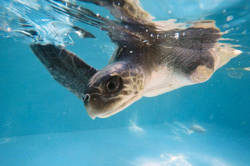 Olive ridley turtle patient Discovery at ORP Turtle Rescue Centre, Maldives