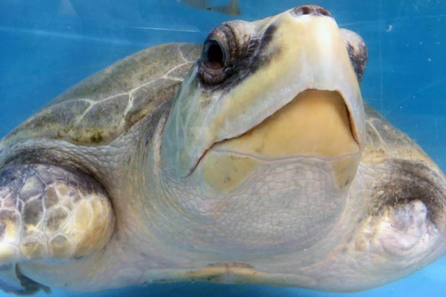 Turtle patient Heidi, image