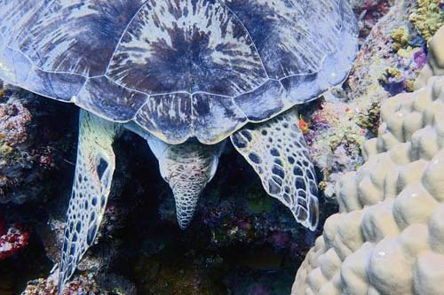 Female green turtle tail