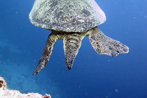 Male green turtle tail