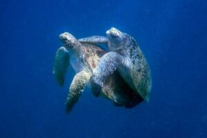 A green turtle seen holding on to his female mating partner with his front flippers, image