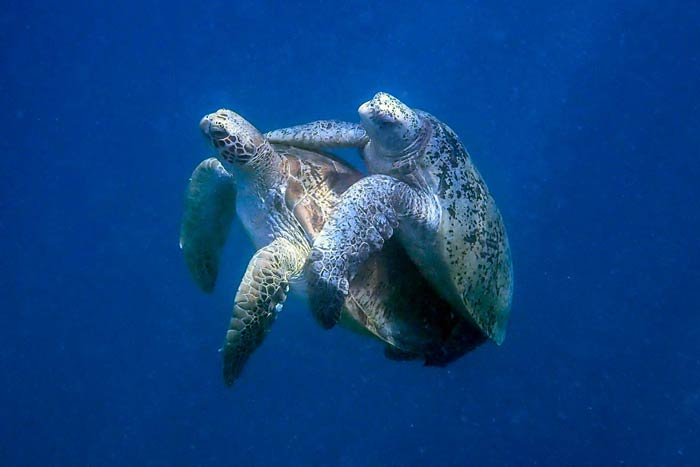 Adult green turtles mating, Malsdives. Image.