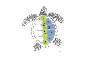 Drawing of green turtle shell showing 4 pairs of lateral scutes, graphic