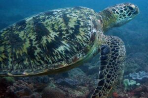 Green sea turtle on a reef in Kenya. Sea turtles have a flatter shell than tortoises and cannot retract their head into their shells.