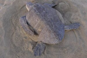A female olive ridley turtle digging a nest with her hind flippers, image